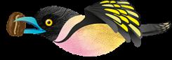 Black_and_Yellow_Broadbill_6206_Espresso_Gayo