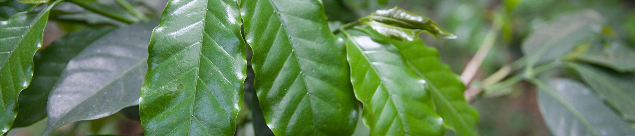 Kafferosten har halverat Mexikos kaffeskörd